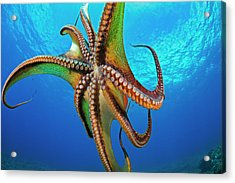 Day Octopus  Octopus Cyanea Acrylic Print by Dave Fleetham