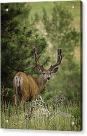 Deer In Velvet Acrylic Print by Darren  White
