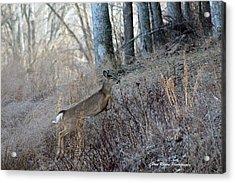 Deer Moving Upward Acrylic Print by Lorna Rogers Photography
