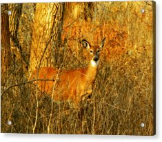 Deer Sighting Acrylic Print by Gothicolors Donna