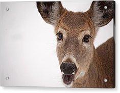 Deer Talk Acrylic Print by Karol Livote