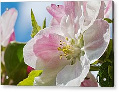 Delicate Spring Blossom Acrylic Print by Mr Bennett Kent