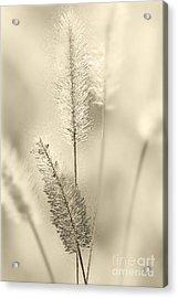 Delicate Sweetgrass Acrylic Print by Heiko Koehrer-Wagner