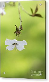 Delicate  Acrylic Print by Tim Gainey