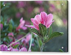 Delicate Acrylic Print by Toby Neal