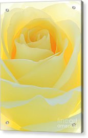 Delicate Yellow Rose Acrylic Print by Sabrina L Ryan
