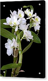 Dendrobium Nobile Orchid Acrylic Print by Dr. Nick Kurzenko
