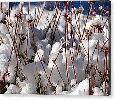 Desert Buckwheat In Snow Acrylic Print by Diana Shay Diehl