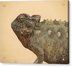 Desert Chameleon Acrylic Print by Ramona Johnston