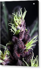 Devil Weed Seeds 'the Purps' Macro Acrylic Print by Stock Pot Images