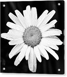 Dew Drop Daisy Acrylic Print by Adam Romanowicz