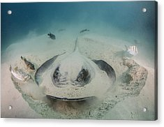 Diamond Stingray Digging In Sand Acrylic Print by Pete Oxford