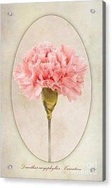 Dianthus Caryophyllus Carnation Acrylic Print by John Edwards
