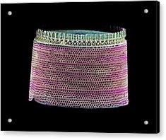 Diatom, Sem Acrylic Print by Science Photo Library