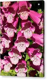 Digitalis Purpurea Excelsior Group Acrylic Print by Adrian Thomas