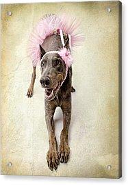 Doberman Ballerina  Acrylic Print by Susan  Schmitz