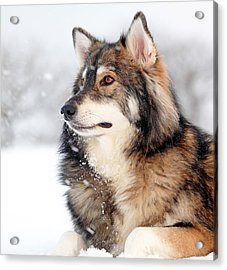 Dog In The Snow Acrylic Print by Grant Glendinning