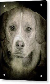 Dog Posing Acrylic Print by Loriental Photography