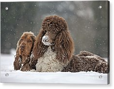 Dogs In Snow Acrylic Print by Johan De Meester