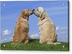 Dogs Kissing Acrylic Print by Greg Cuddiford
