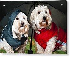 Dogs Under Umbrella Acrylic Print by Elena Elisseeva