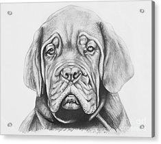 Dogue De Bordeaux Dog Acrylic Print by Lena Auxier