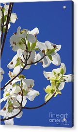Dogwood Beauty Acrylic Print by Tannis  Baldwin