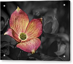 Dogwood Bloom Acrylic Print by Ron Roberts