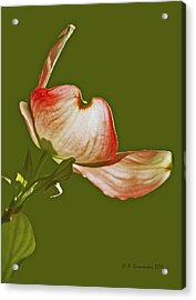 Acrylic Print featuring the photograph Dogwood Blossom In Spring by A Gurmankin