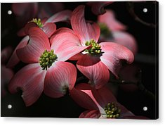 Dogwood Blossoms Acrylic Print by Donna Kennedy