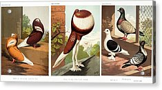 Domestic Fancy Pigeon Breeds Acrylic Print by Paul D Stewart