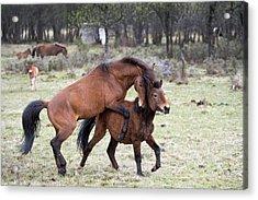 Dominance-subordinance In Tibetan Ponies Acrylic Print by Tony Camacho
