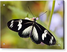 Doris Longwing Butterfly Acrylic Print by Oscar Gutierrez