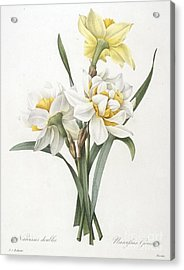 Double Daffodil Acrylic Print by Pierre Joseph Redoute