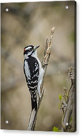 Downy On Cattail Acrylic Print by Bradley Clay