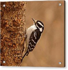 Downy Woodpecker Acrylic Print by Sandy Keeton