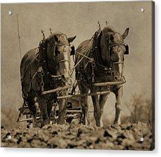 Draft Horses Acrylic Print by Dan Sproul