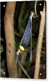 Dragonfly And Damselfly Roosting Acrylic Print by Dr Morley Read