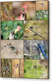 Dragonfly Collage 3 Acrylic Print by Carol Groenen