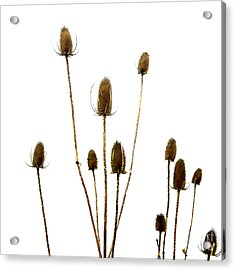 Dried Thistle Acrylic Print by Bernard Jaubert