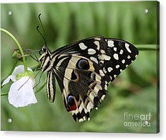 Drinks With A Giant  Swallowtail Acrylic Print by Ruth Jolly