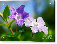 Drops On Violets Acrylic Print by Carlos Caetano