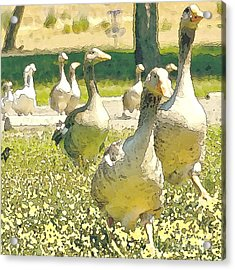 Duck Duck Goose Acrylic Print by Artist and Photographer Laura Wrede