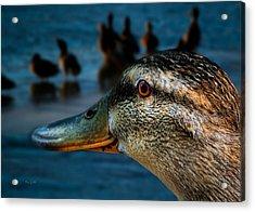Duck Watching Ducks Acrylic Print by Bob Orsillo