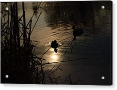 Ducks On The River At Dusk Acrylic Print by Samantha Morris