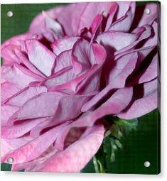Dusty Rose Acrylic Print by Barbara S Nickerson