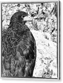 Eagle Acrylic Print by Jose Elias - Sofia Pereira