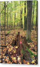 Early Autumn Woods Acrylic Print by Michele Steffey