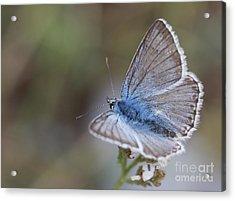 Eastern Baton Blue  Acrylic Print by Amos Dor