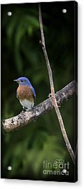 Eastern Blue Delight Acrylic Print by Cris Hayes